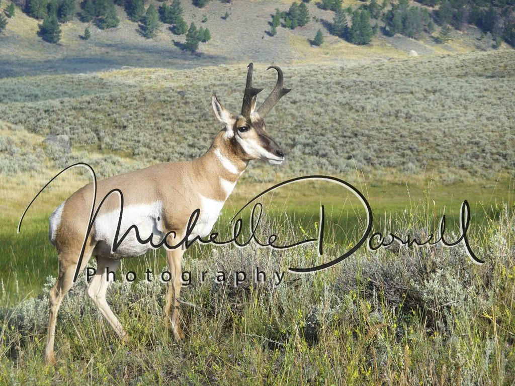 A male pronghorn antelope poses in Lamar Valley, Yellowstone National Park, Wyoming and Montana. 72 dpi, 300 dpi