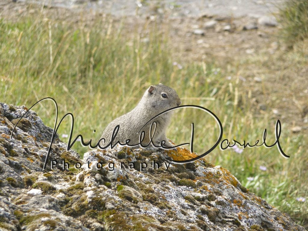 Columbian ground squirrel near Soda Springs, Lamar Valley, Yellowstone National Park, Wyoming and Montana. 72 dpi, 300 dpi