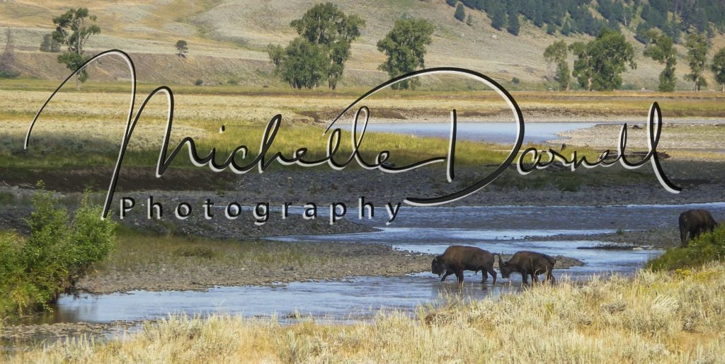 Two bison cross a stream in Lamar Valley, Yellowstone National Park, Wyoming and Montana. 72 dpi, 300 dpi