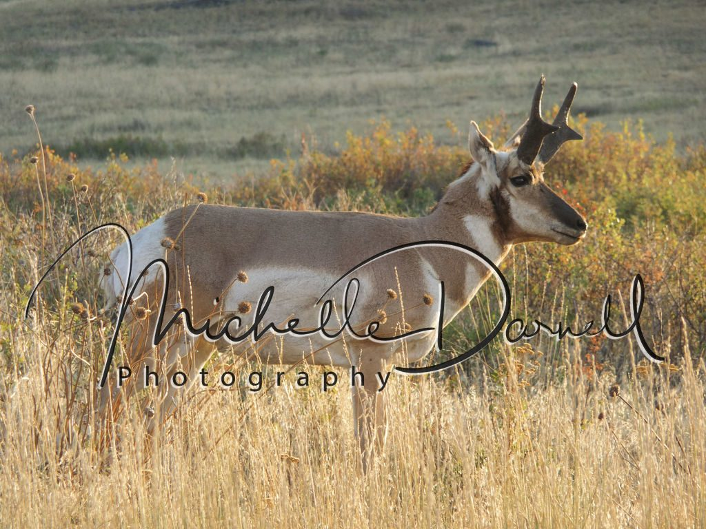 A male pronghorn antelope poses in the National Bison Range, Moise, Montana. 72 dpi, 300 dpi