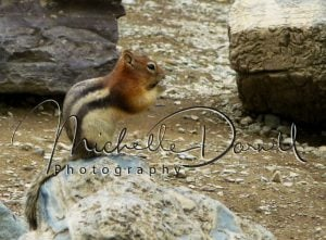 A golden mantled ground squirrel eats its prize on the shores of Iceburg Lake, Many Glacier, Glacier National Park, Montana. 72 dpi, 300 dpi