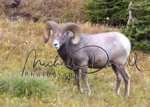 An old bighorn sheep ram watches over his herd near the parking lot at Logan's Pass, Glacier National Park, Montana. 72 dpi, 300 dpi