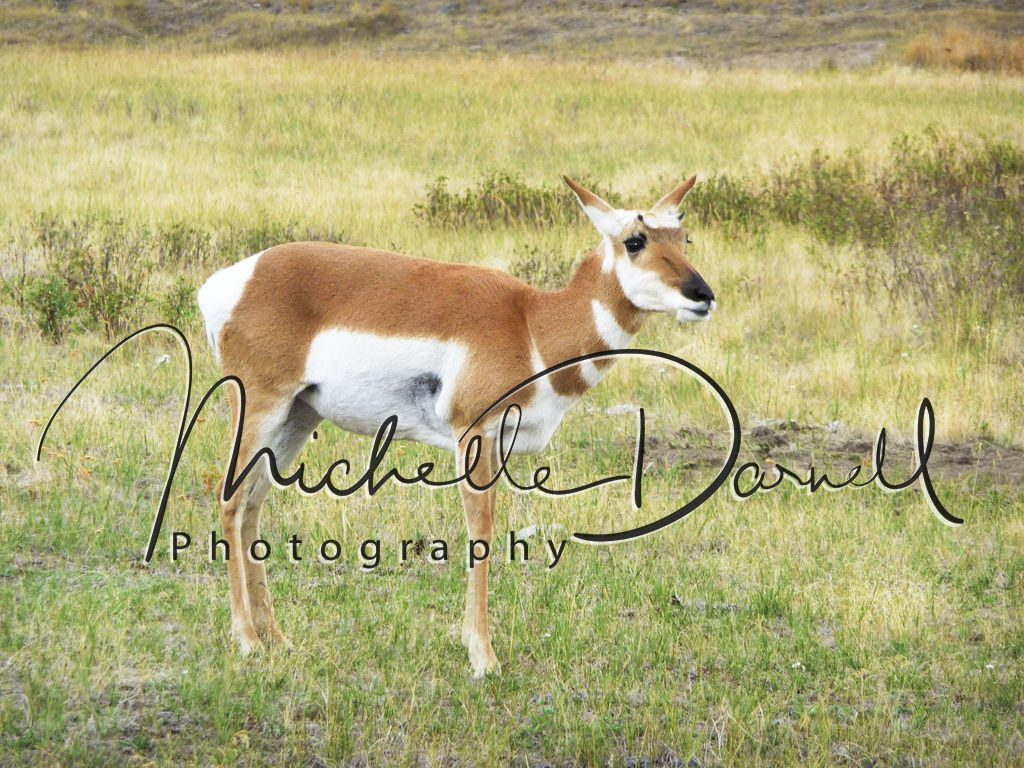 A female pronghorn antelope poses in the National Bison Range, Moise, Montana. 72 dpi, 300 dpi