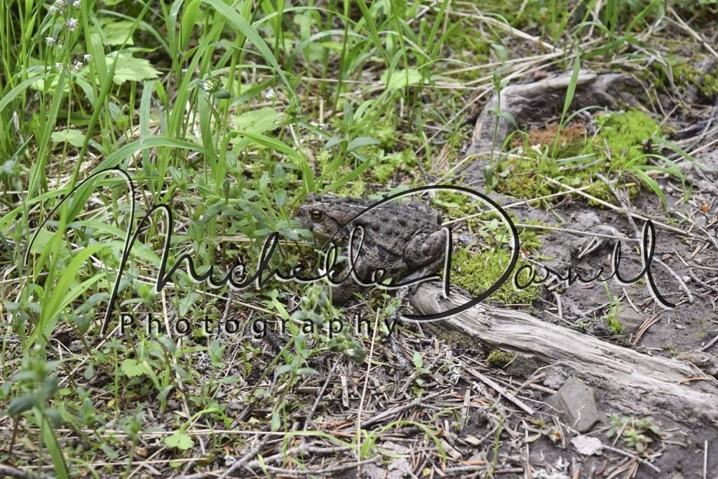 A toad hops across the trail up to Sperry Chalet, Glacier National Park, Montana. 72 dpi, 300 dpi, 600 dpi