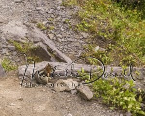 A golden mantled ground squirrel pauses in its foraging near Lincoln Pass and Sperry Chalet, Glacier National Park, Montana. 72 dpi, 300 dpi, 600 dpi