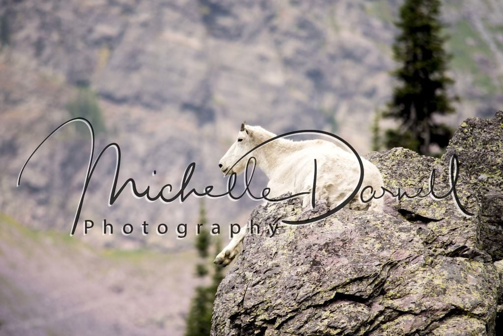 A mountain goat relaxes on the rocks in the heat of the day near Lincoln Pass and Sperry Chalet, Glacier National Park, Montana. 72 dpi, 300 dpi, 600 dpi.