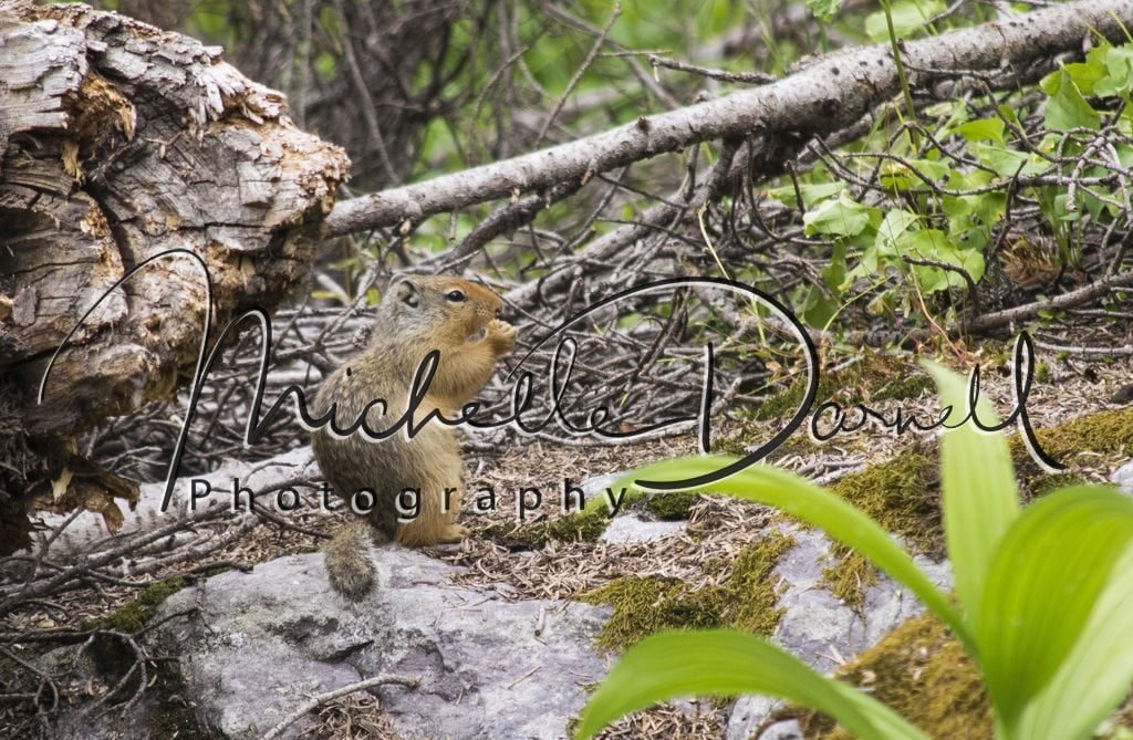 A Columbian ground squirrel munches on a seed it pulled out of the underbrush on the trail to Sperry Chalet, Glacier National Park, Montana. 72 dpi, 300 dpi, 600 dpi
