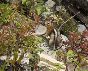 A golden mantled ground squirrel pauses in its foraging on the trail to Sperry Chalet, Glacier National Park, Montana. 72 dpi, 300 dpi, 600 dpi