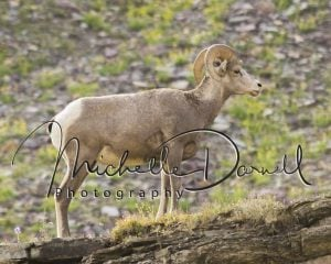 A bighorn sheep ewe takes a break from eating to watch the juveniles spar, on the trail to Hidden Lake, Logan's Pass, Glacier National Park, Montana. 72 dpi, 300 dpi, 600 dpi