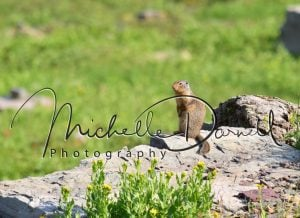 A Columbian ground squirrel keeps watch while his colony mates eat and play in the nearby fields. Logan's Pass, Glacier National Park, Montana. 72 dpi, 300 dpi, 600 dpi