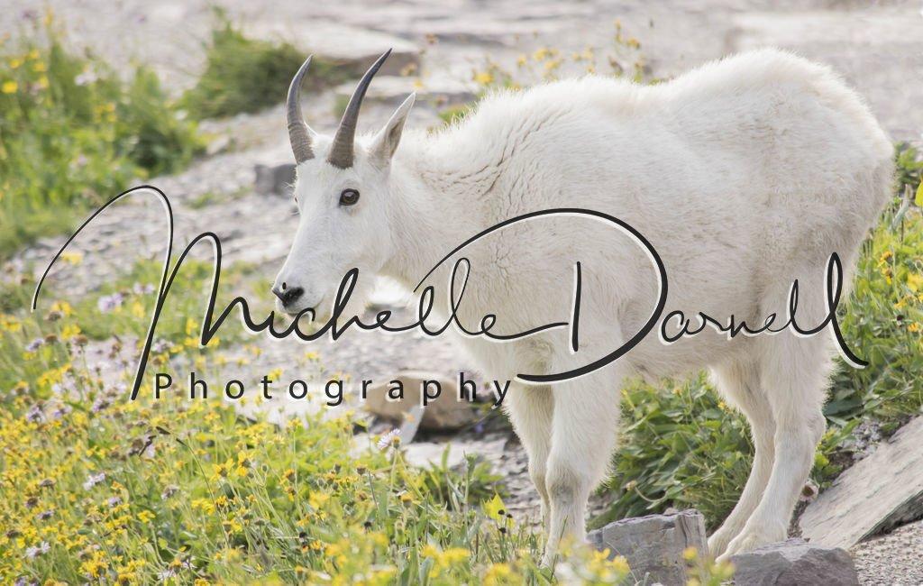 A friendly mountain goat at Hidden Lake Overlook, Logan's Pass, Glacier National Park, Montana. 72 dpi, 300 dpi, 600 dpi