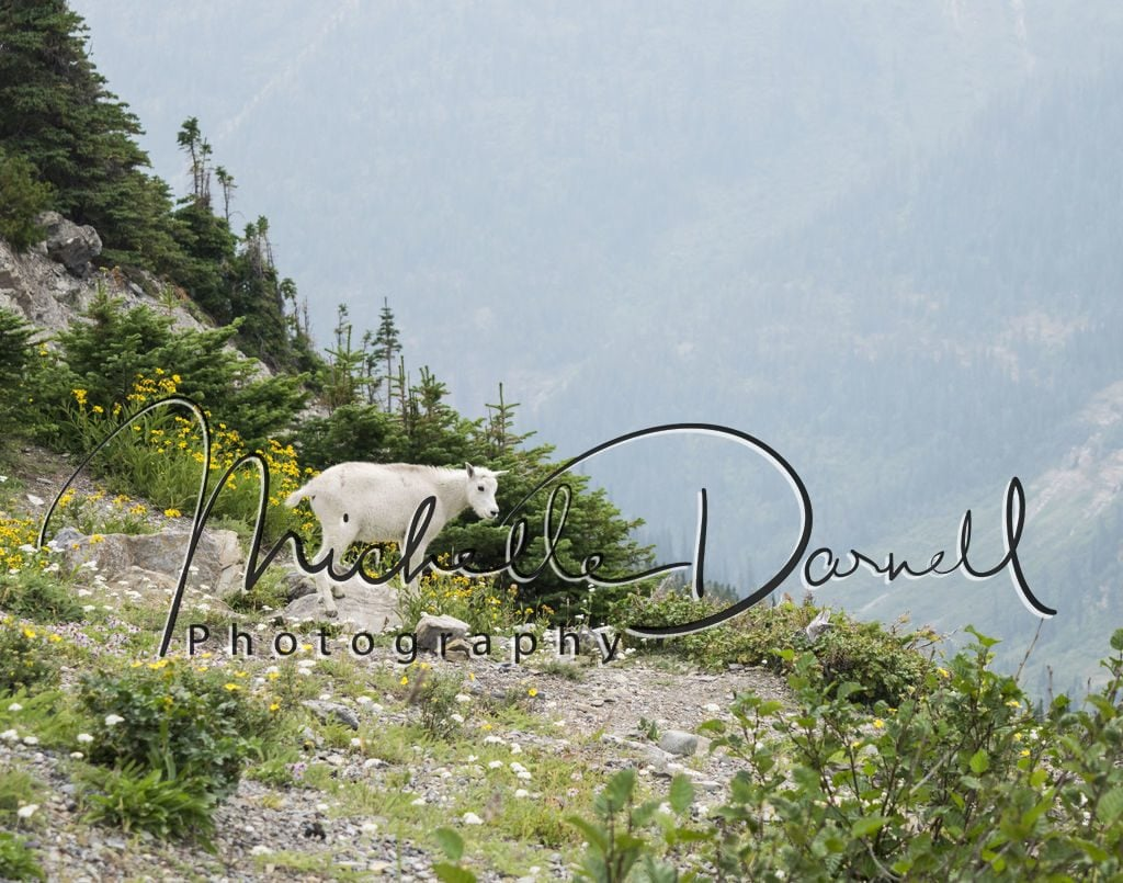 A baby mountain goat plays at Logan's Pass, Glacier National Park, Montana. 72 dpi, 300 dpi, 600 dpi