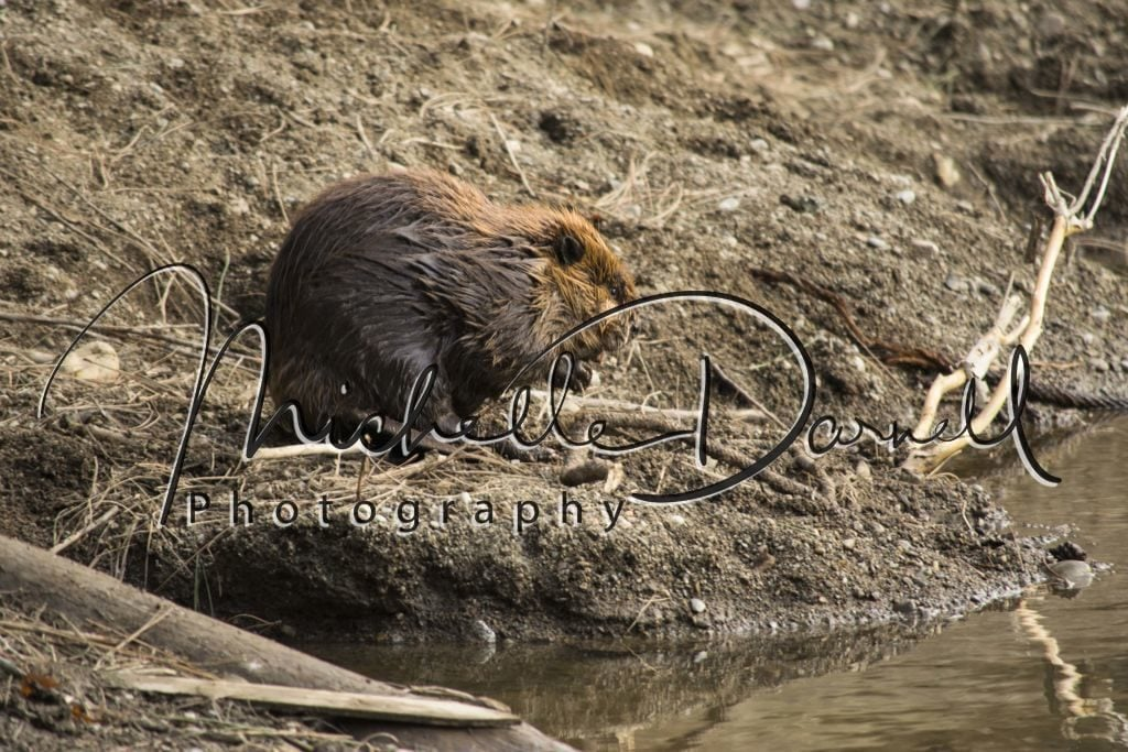 A beaver takes a break from a swim and chews on a stick at Black Bay Park, Post Falls, Idaho. 72 dpi, 300 dpi, 600 dpi