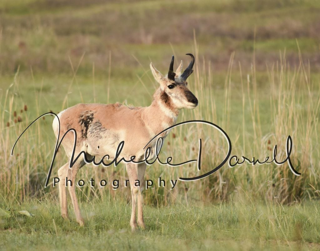 A pronghorn antelope pauses in its run at the National Bison Range, Moise, Montana. 72 dpi, 300 dpi, 600 dpi