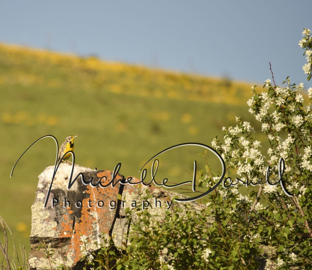 A western meadowlark rests on a rock in the National Bison Range, Moise, Montana. 72 dpi, 300 dpi, 600 dpi