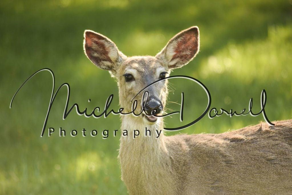 A whitetail deer doe at The National Bison Range, Moise, Montana. 72 dpi, 300 dpi, 600 dpi