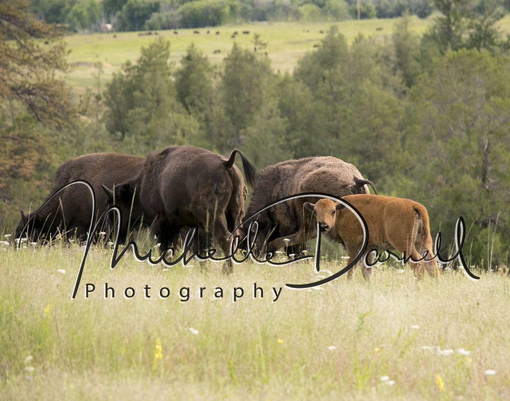 A baby bison and family at The National Bison Range, Moise, Montana. 72 dpi, 300 dpi, 600 dpi