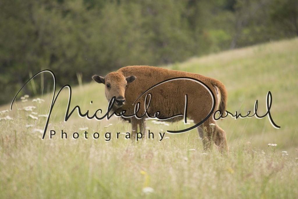 A baby bison at The National Bison Range, Moise, Montana. 72 dpi, 300 dpi, 600 dpi