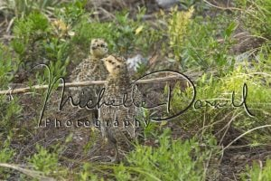 Ptarmigan chicks in the underbrush near the trail to Astor Falls, Two Medicine, Glacier National Park. 72 dpi, 300 dpi, 600 dpi