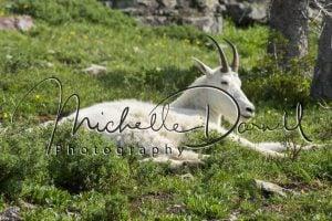 A lazy mountain goat at Hidden Lake Overlook, Logan's Pass, Glacier National Park, Montana. 72 dpi, 300 dpi, 600 dpi