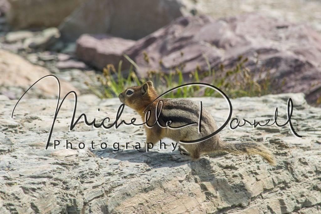 Golden Mantle Ground Squirrel on the way to Sperry Chalet, Glacier National Park, Montana. 72 dpi, 300 dpi, 600 dpi
