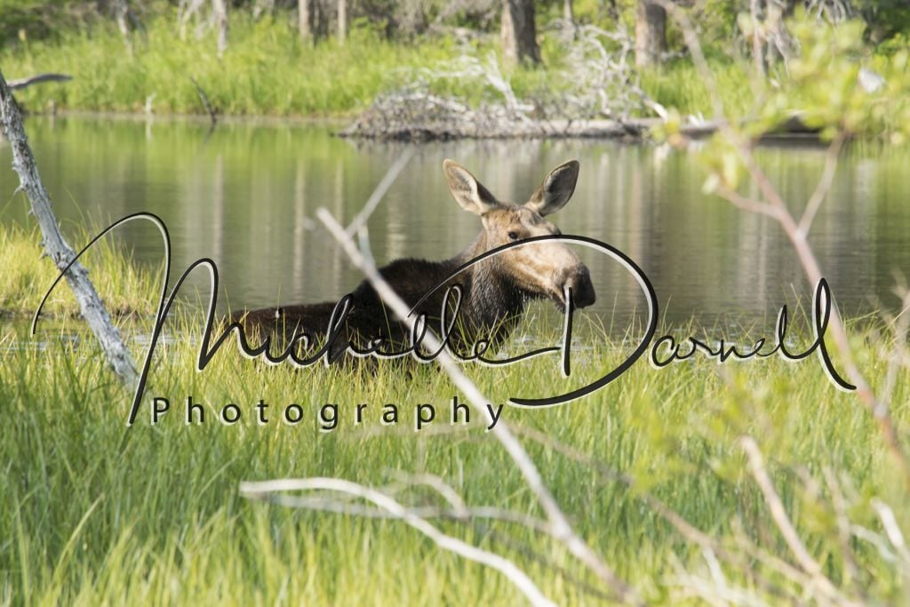 Female moose in the swamps at Two Medicine Lake, Glacier National Park, Montana. 72 dpi, 300 dpi, 600 dpi